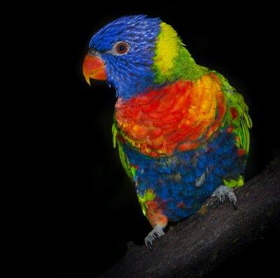 Wall mural rainbow lorikeet parrot