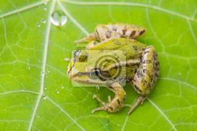 rana esculenta - common european green frog on a dewy leaf