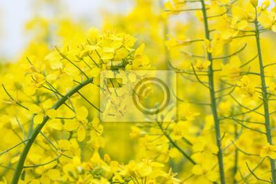 rapeseed flower