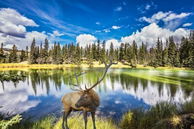 Wall mural Red deer with branchy horns costs on charming lake