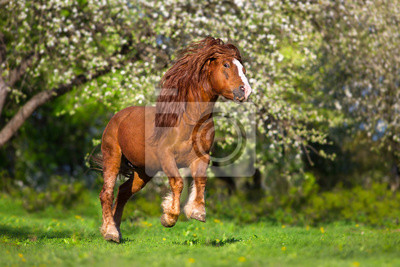 Red draft horse with long mane run in blossom spring garden