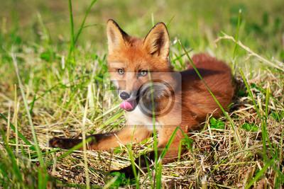 Wall mural red fox