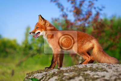 Wall mural red fox