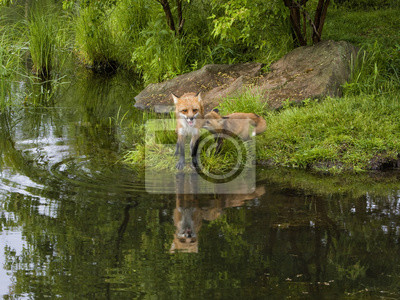 Red Fox and Kit Reflection