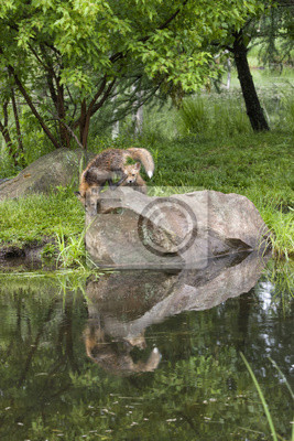 Red Fox and Kit Reflection in Quiet Lake