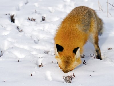 Wall mural Red Fox Face in Snow