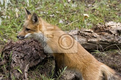 Red Fox Head and Shoulders