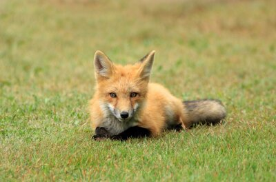 Wall mural Red Fox Kit Posing in a Grass Meadow, PEI, Canada