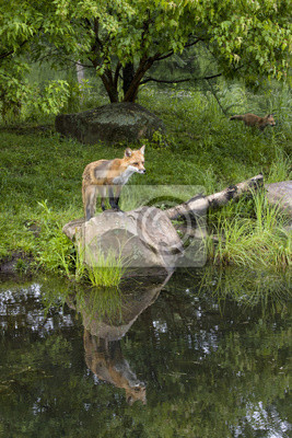 Red Fox on rock with Reflection