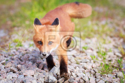 Wall mural red fox pup