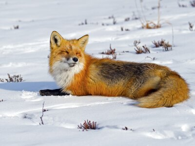Wall mural Red Fox Sunbathing in the Snow