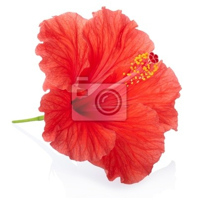 Wall mural Red hibiscus flower isolated, clipping path included