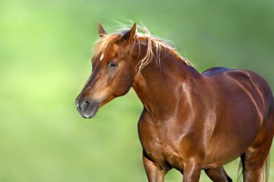 Red horse portrait on green background