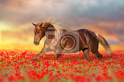 Red horse with long mane run gallop on red poppy flowers