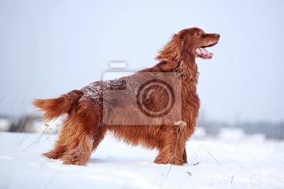 Red irish setter dog in snow field