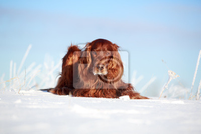 Wall mural Red irish setter dog in snow field