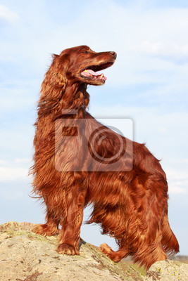 Wall mural Red irish setter dog on rock