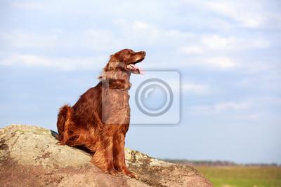 Red irish setter dog on rock