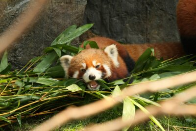 Wall mural Red panda laying down and eating bamboo leaves