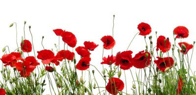 Wall mural red poppies on white