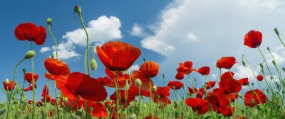 Wall mural red poppy and clouds