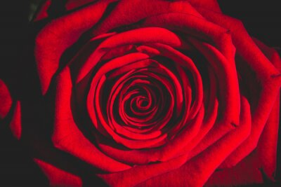 Wall mural red rose from the dark
