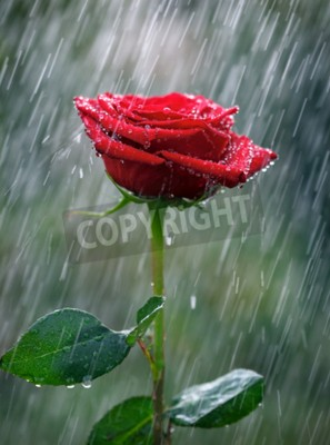 Wall mural Red rose with waterdrops into the rain
