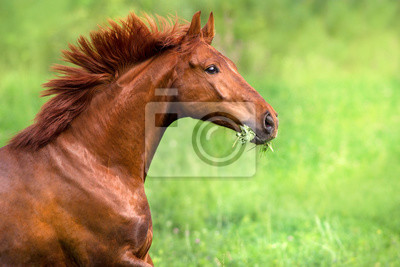 Red stallion portrait in motion on green field