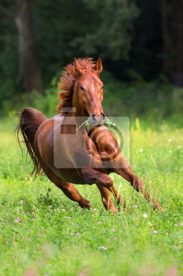 Red stallion run gallop on spring green field against forest