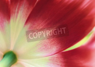 Wall mural Red tulip close up, abstract spring background
