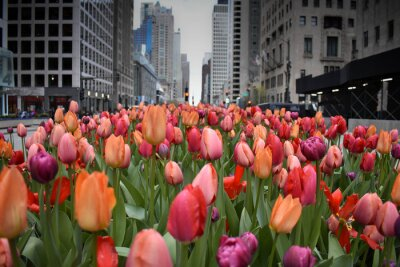 Wall mural red tulips in Chicago downtown