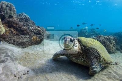 Resting Turtle