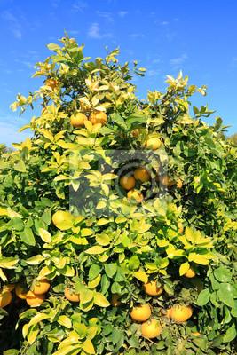 Ripe grapefruit tree