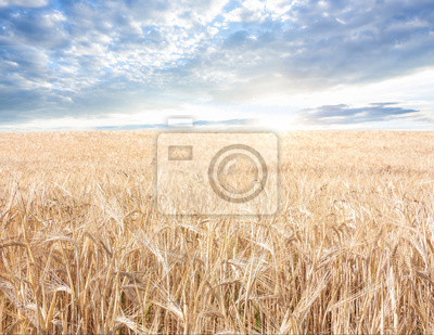 ripened grain