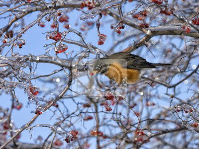 Robin in Ice-Covered Tree with Red Berries