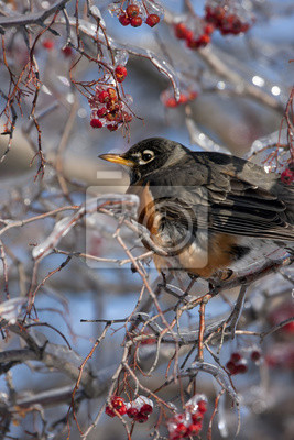 Robin Perched in Ice Covered Tree with Red Berries Vertical