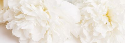 Wall mural Romantic banner, delicate white peonies flowers close-up. Fragrant pink petals
