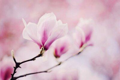 Wall mural rosa magnolie