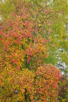 Rowan tree foliage in autumn colors