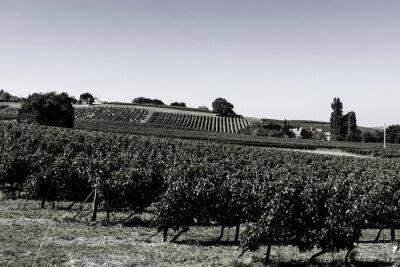 Wall mural Rows of vineyards  before harvesting