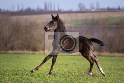 Wall mural Running black foal in spring field
