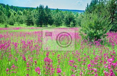 Wall mural rural summer landscape with the  a blossoming meadow