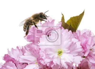 sakura flowers with honey bee close up