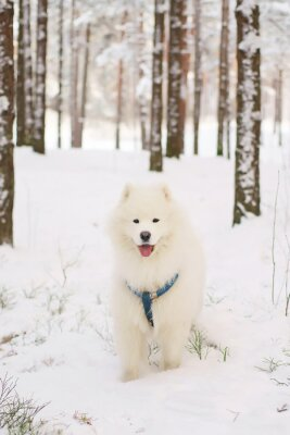 Wall mural Samoyed dog staying in a snowy forest