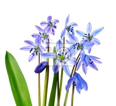 Wall mural scilla flowers first flowers