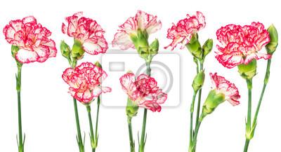 Set of blooming carnation