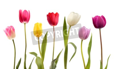Wall mural Set of seven different color tulip flowers isolated on white background
