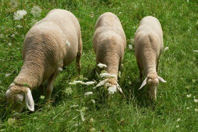 Sheeps grazing in Germany