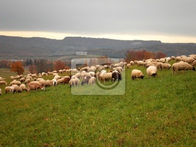 Wall mural Sheeps in Pasture