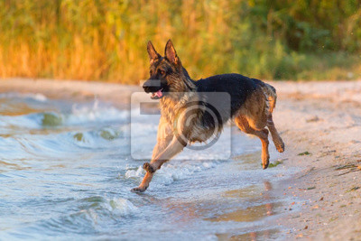 Shepherd dog jump in water play and fun